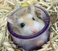 Tiny cup hamster